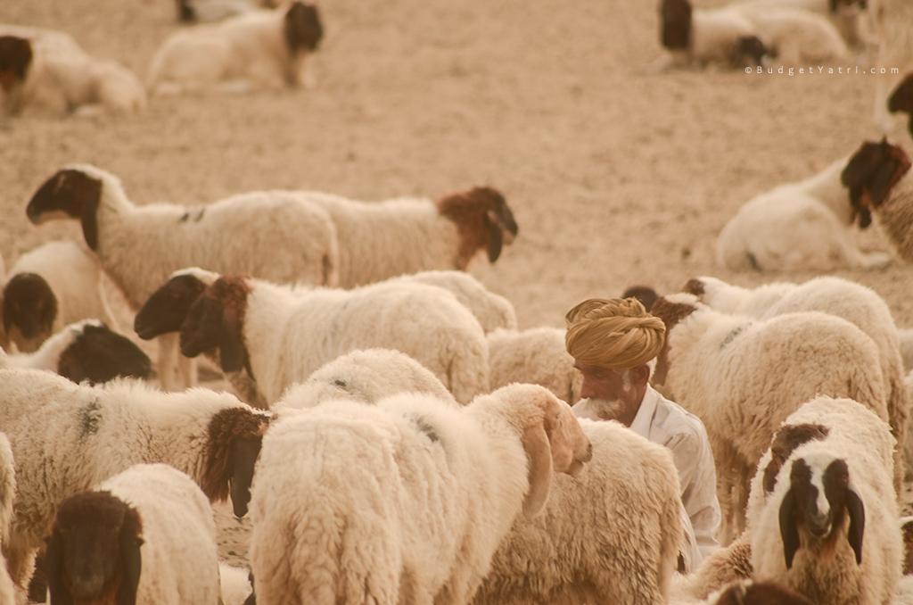 Desert-life-Shepherd-Jaisalmer-Rajasthan