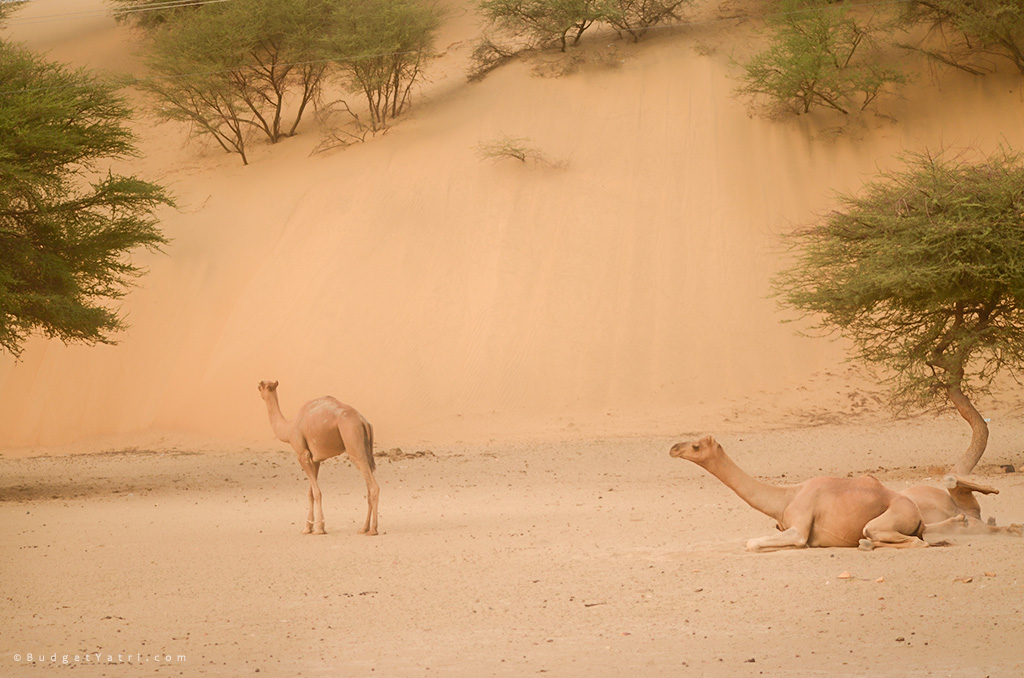 Tanot-wild-camels