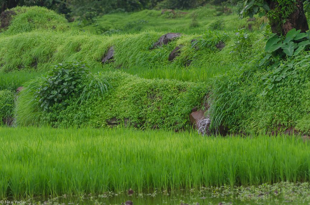 rice farming in raigad
