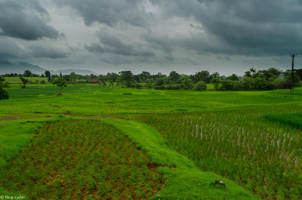 paddy-fields-india