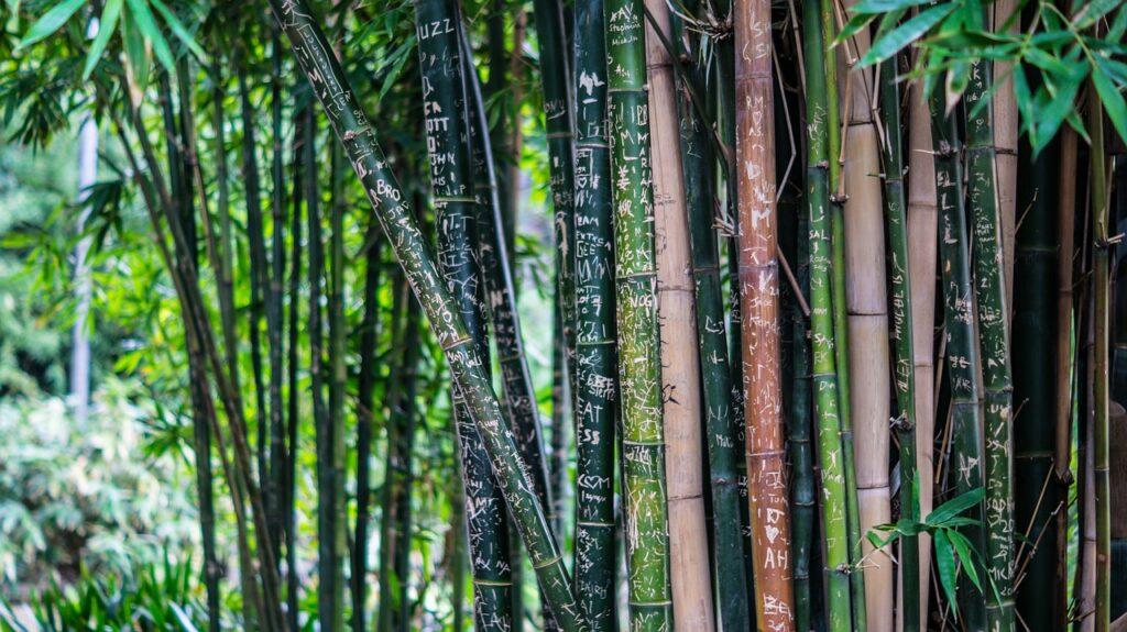 Bamboo plant India