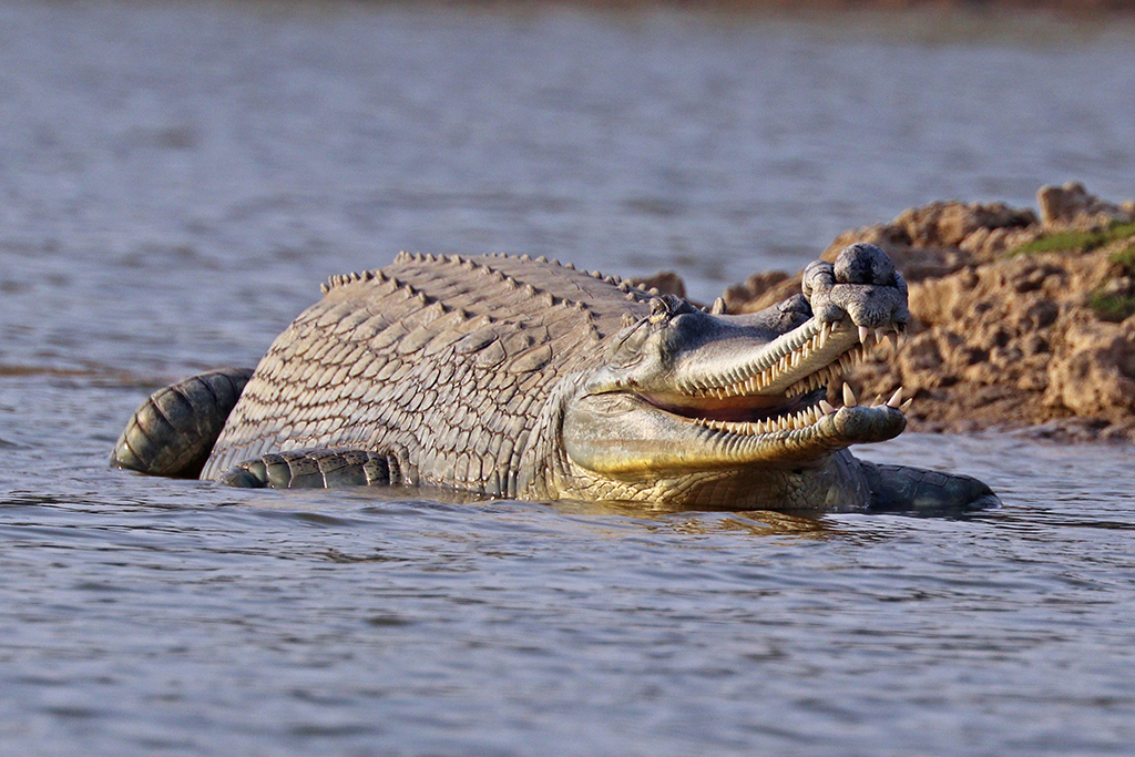 Extinction of Gharials in India