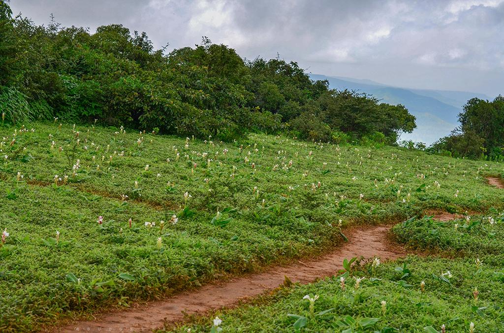 Valley flowers Maharashtra