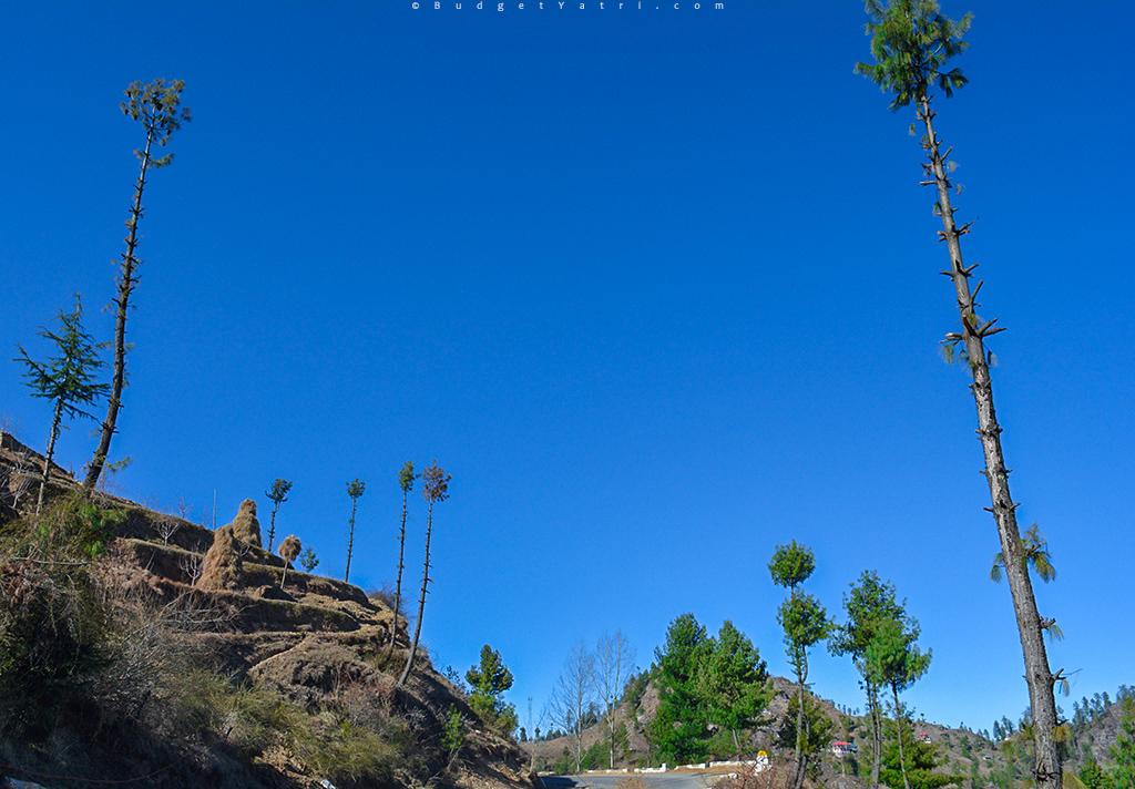 narkanda, himachal pradesh,pine trees